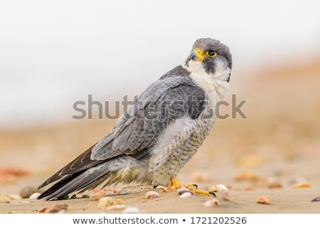 Peregrine Face