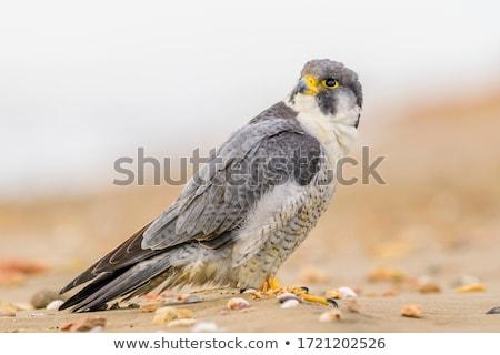 falcão · aves · animais · mundo · olho · cara - foto stock © ca2hill
