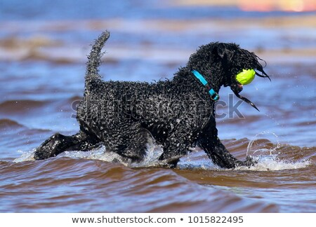 kerry blue terrier with collars Stock photo © cynoclub