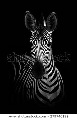 Zebra in black and white Stock photo © Donvanstaden