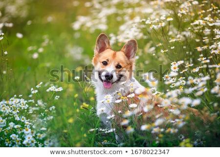 gyönyörű · kutya · fektet · vmi · mellett · próbababa · izolált - stock fotó © willeecole