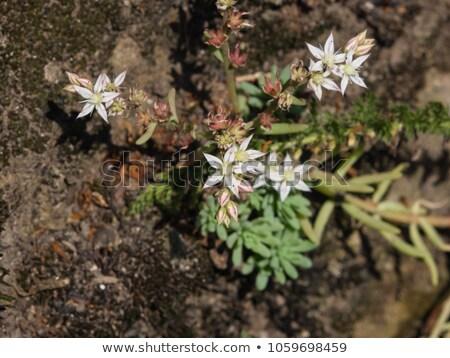 White flowers of Sedum album (White Stonecrop) Stock photo © tainasohlman