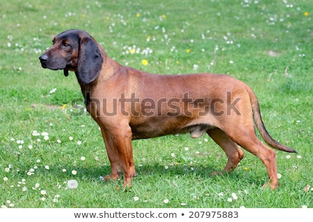Bavarian Moutain Scenthound on a spring meadow Stock photo © CaptureLight
