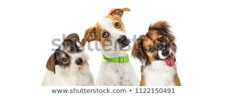 three dogs Stock photo © c-foto