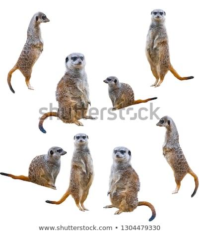 meerkat suricatta suricatta stock photo © dirkr
