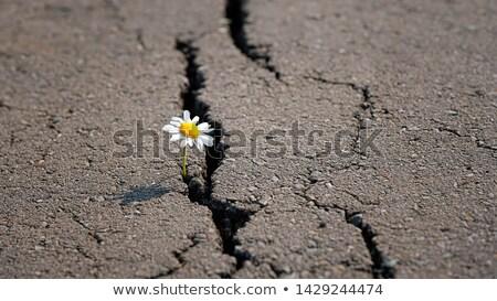 Stockfoto: Kamille · asfalt · uit · weg · bloem · natuur