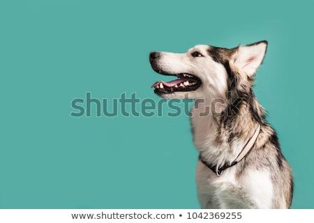 kutya · kék · szemek · közelkép · lövés · husky · szem - stock fotó © smuki
