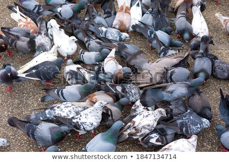 Pigeon pain bec blanche isolé nature Photo stock © taviphoto