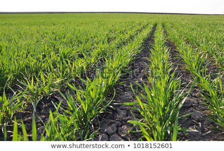 Field of young green wheat Stock photo © gabor_galovtsik