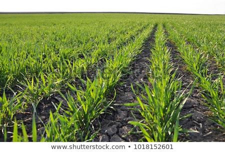 ストックフォト: フィールド · 小さな · 緑 · 小麦 · 未熟 · 麦畑
