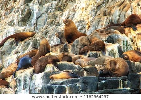 Fur Seal southern ocean island Tasmania Stock photo © roboriginal