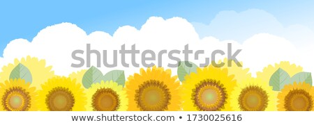 sunflower panorama stock photo © alphaspirit