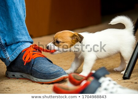 puppy with shoe Stock photo © willeecole