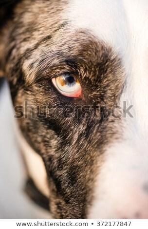 yoğun · köpek · köpek · kurt · hayvan · göz - stok fotoğraf © cboswell