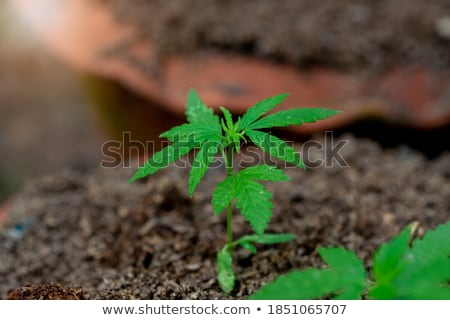 marihuana · plant · groot · hennep · detail · gras - stockfoto © jonnysek