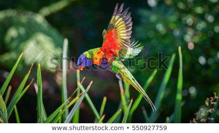rainbow lorikeet trichoglossus haematodus stock photo © dirkr