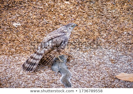 Cooper's Hawk, Accipiter cooperii, eating a Squirrel Stock photo © yhelfman