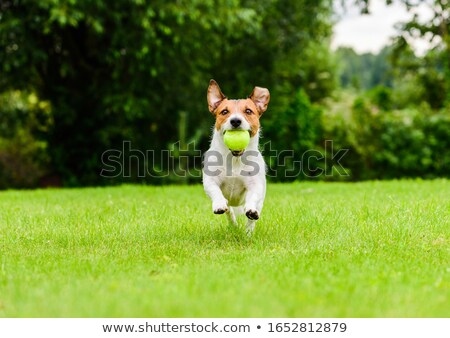 energetic jack russell terrier dog runs on the grass stock photo © feverpitch