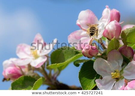 Bee voorjaar bloesem bloem vers roze Stockfoto © jordanrusev