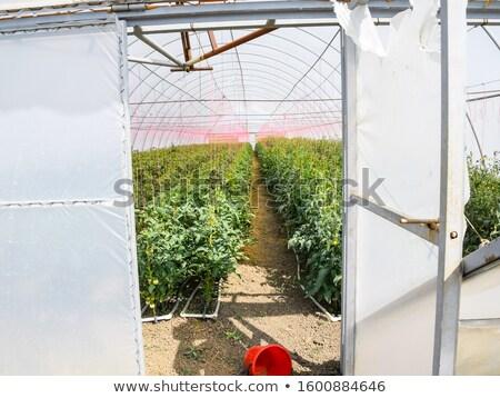 Büyüyen salatalık büyük sera gıda yaprak Stok fotoğraf © nasonov