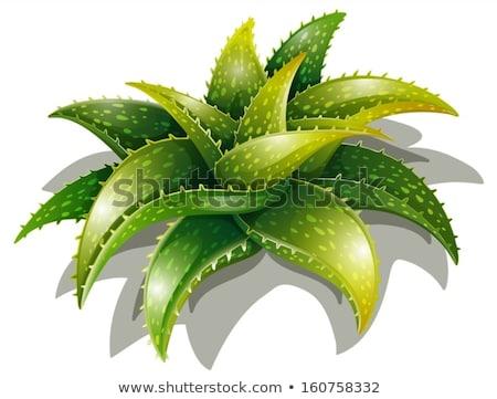 Aloë illustratie groene wetenschap bladeren plant Stockfoto © bluering