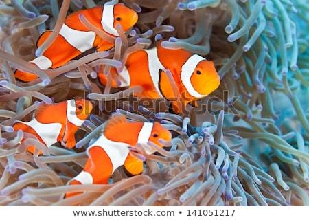 clown fish on reef Stock photo © adrenalina