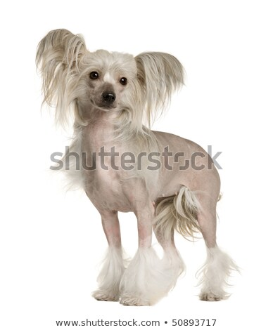 китайский собака белый фото студию красоту Сток-фото © vauvau