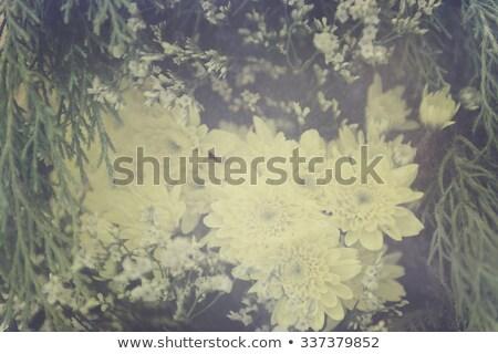Pink chrysanthemum with antique distress stock photo © Sandralise