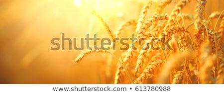 Megművelt mezőgazdasági búzamező fülek gabonapehely termény Stock fotó © stevanovicigor