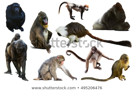 Mandrill baboon on white background Stock photo © bluering