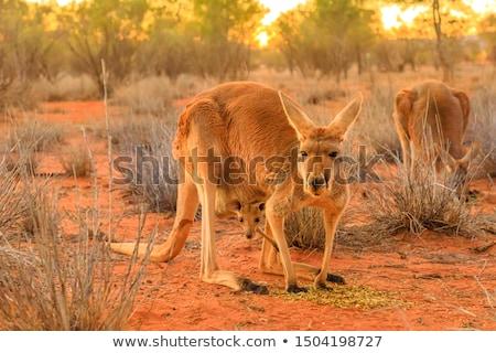 Red Kangaroo (Macropus rufus) Stock photo © dirkr