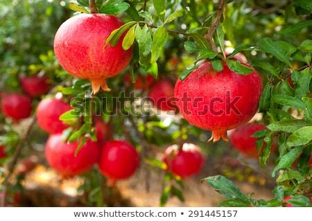 Rood · granaatappel · geïsoleerd · witte · voedsel · vruchten - stockfoto © stevanovicigor