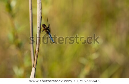 Broad-bodied chaser dragonfly on a dried reed Stock photo © Mps197