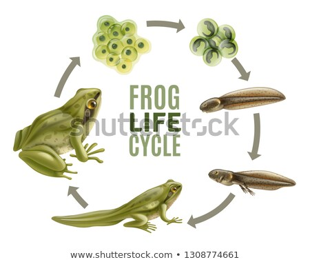 Grenouille vie cycle graphique cute animaux Photo stock © lenm