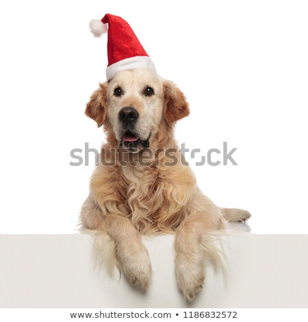 cute santa labrador pants and looks to side while lying Stock photo © feedough