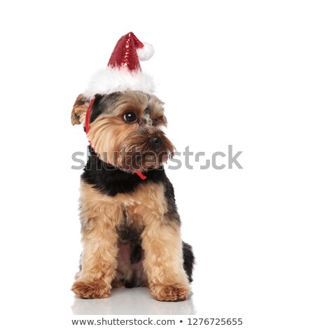 curious santa yorkshire terrier looks to side while sitting Stock photo © feedough