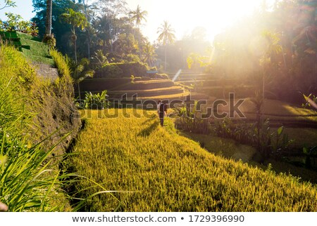 Green cascade rice field plantation at Tegalalang terrace. Bali, Indonesia with sunlight Stock photo © galitskaya