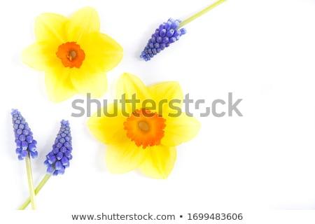 Stockfoto: Hyacint · narcissen · bloemen · Blauw · exemplaar · ruimte · witte