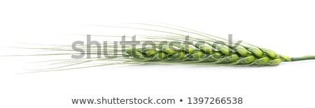 Grünen Ohr Weizen Landwirtschaft Stock foto © Leonardi