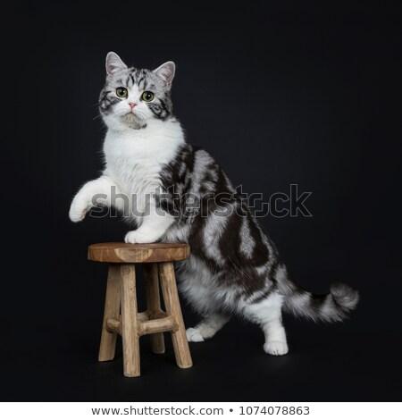 Stockfoto: Cute Little Black Silver Blotched British Shorthair Cat