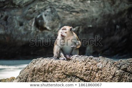 Wild monkey sitting on rock Stock photo © vapi