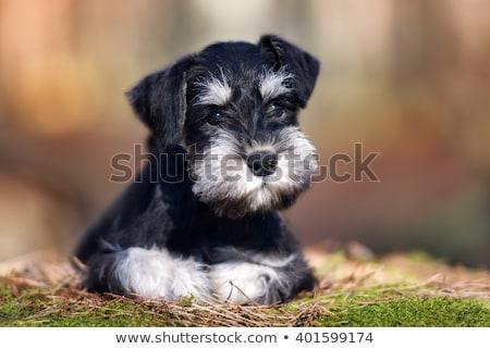 adorabile · miniatura · schnauzer · seduta · grigio - foto d'archivio © vauvau