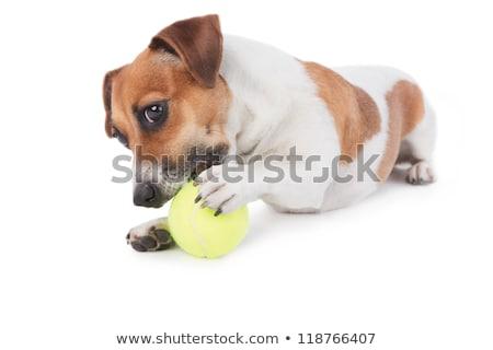Aanbiddelijk jack russell spelen gevuld dier Stockfoto © vauvau