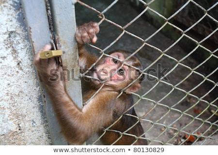 Mandrill monkey behind bars at the zoo Stock photo © cienpies