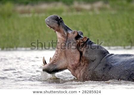 гиппопотам реке плаванию Танзания Сток-фото © photoblueice