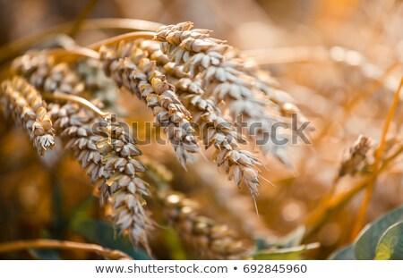 Outono paisagem rico dourado belo vermelho Foto stock © Eireann