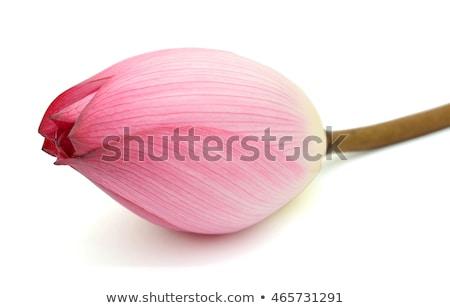 Rosa Lotus fresche bud bouquet asian Foto d'archivio © smithore