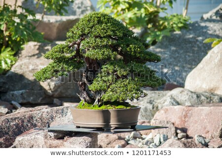 yew bonsai stock photo © antonio-s