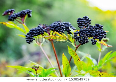 ripe elderberry on bush stock photo © arrxxx