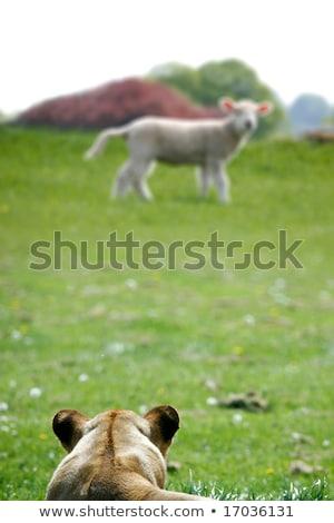 無邪気な 子羊 飢えた ライオン 緑 草原 ストックフォト © Bananna